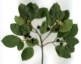 A buckthorn twig with black berries. (Wikipedia)